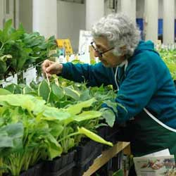Gray-haired woman checking hostas on the shelf