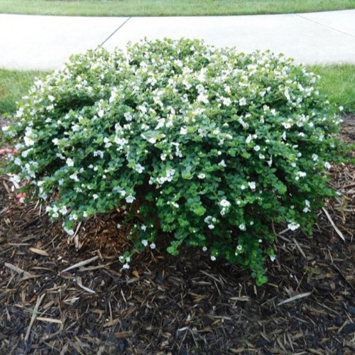 Bacopa megacopa white friends school plant sale photo from the michigan state university trials mightylinksfo