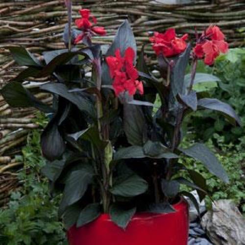 Canna Cannova Scarlet Bronze Friends School Plant Sale