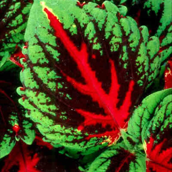 coleus, shade  kong red  friends school plant sale, Natural flower