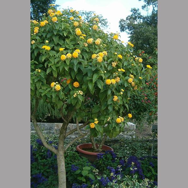 Lantana tree friends school plant sale small yellow flowers on a tree photo by botbin from the wikimedia commons mightylinksfo