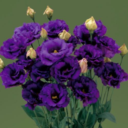 deep purple blue flowers photo from takii seed