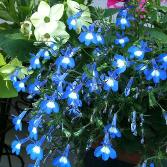 Lobelia Compact Techno Heat Electric Blue Friends School Plant Sale