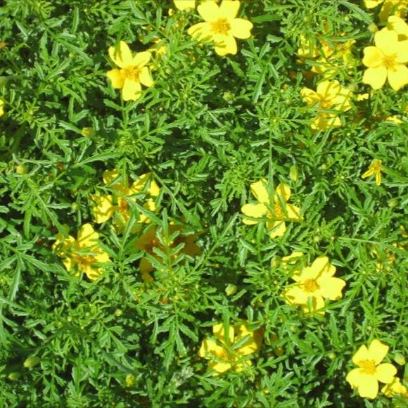 Marigold Signet Lemon Gem Friends School Plant Sale