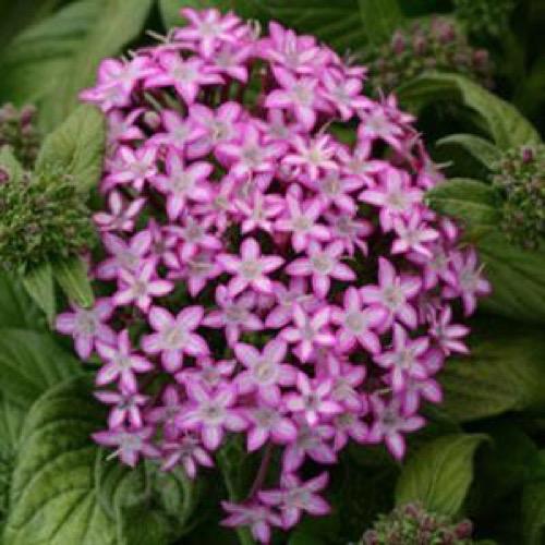 Pentas glitterati purple star friends school plant sale pink lavender star shaped flowers in a cluster photo from pan american seeds mightylinksfo