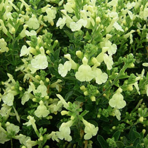 Salvia suncrest lemon light friends school plant sale light yellow flowers on tall stems photo from suncrest nurseries mightylinksfo