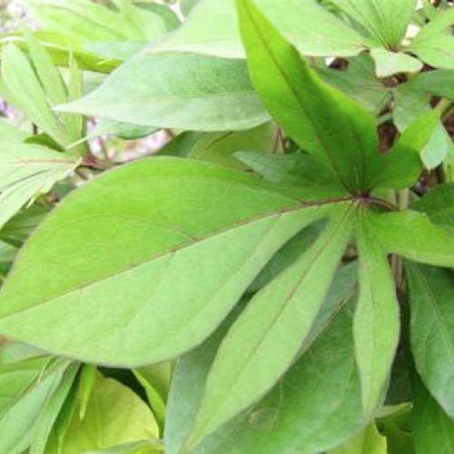 Emerald Lace Sweet Potato Vine