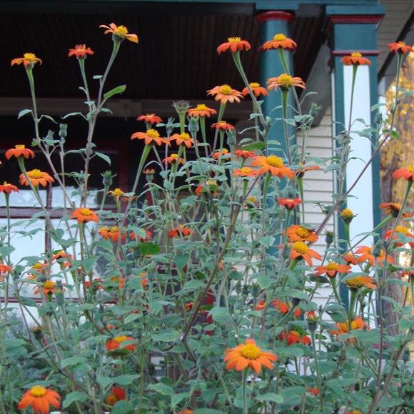 Mexican Sunflower Torch Friends School Plant Sale
