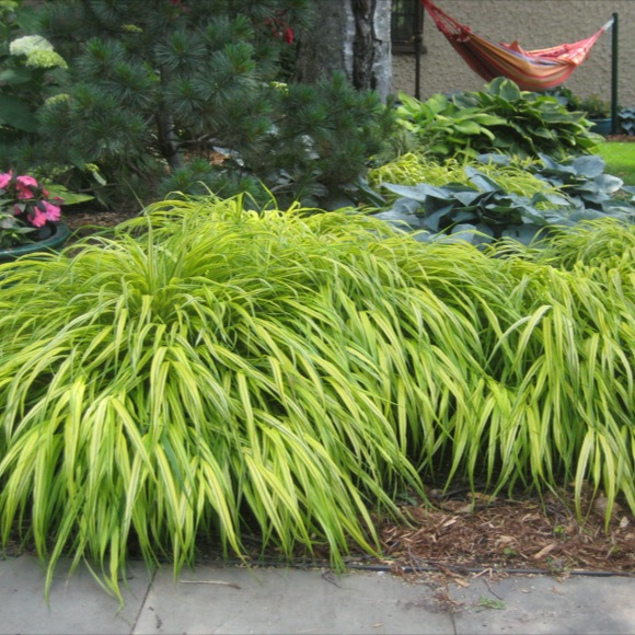 Japanese forest grass aureola friends school plant sale for Japanese grass