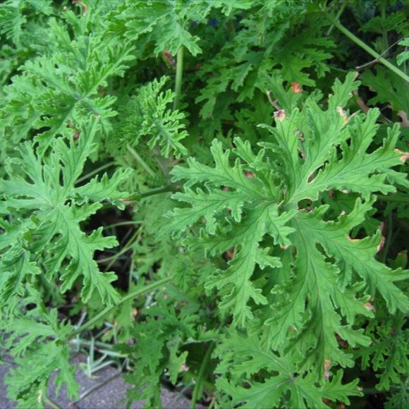 Geranium, Scented - Mosquito Plant