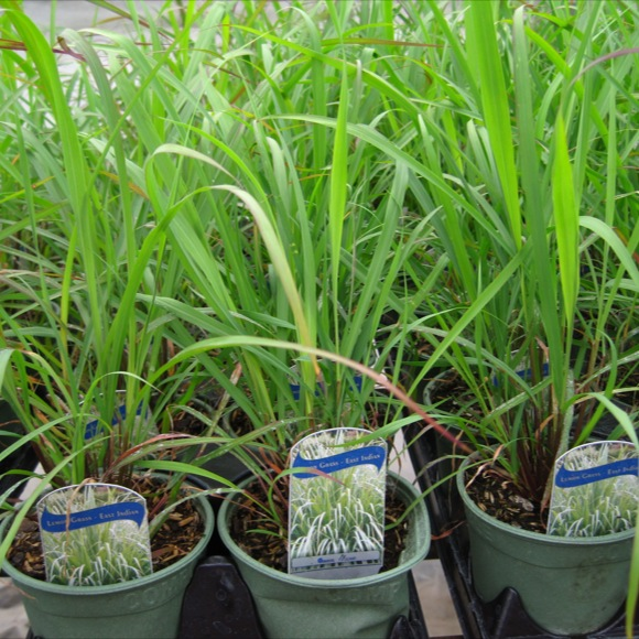 lemon grass c citratus friends school plant sale. Black Bedroom Furniture Sets. Home Design Ideas