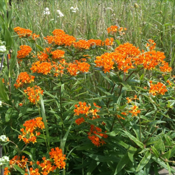 Asclepias tub gay butterflies