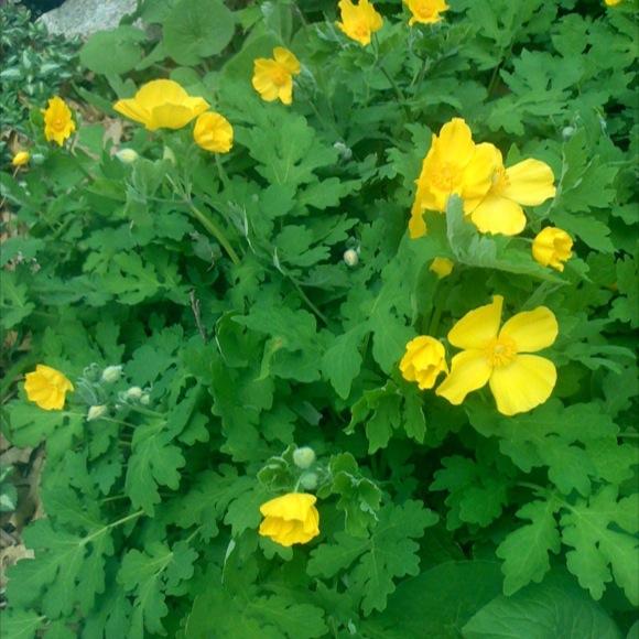 Wood poppy s diphyllum friends school plant sale stylophorum diphyllum bright yellow flowers mightylinksfo