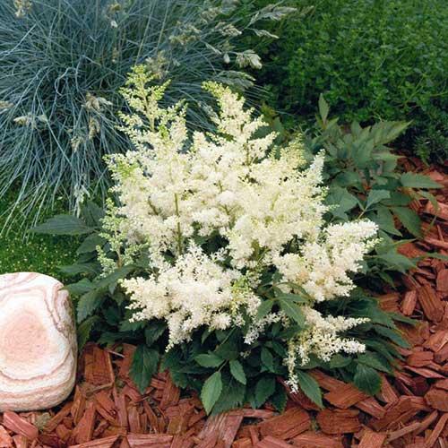 Astilbe astary white friends school plant sale photo from benary mightylinksfo