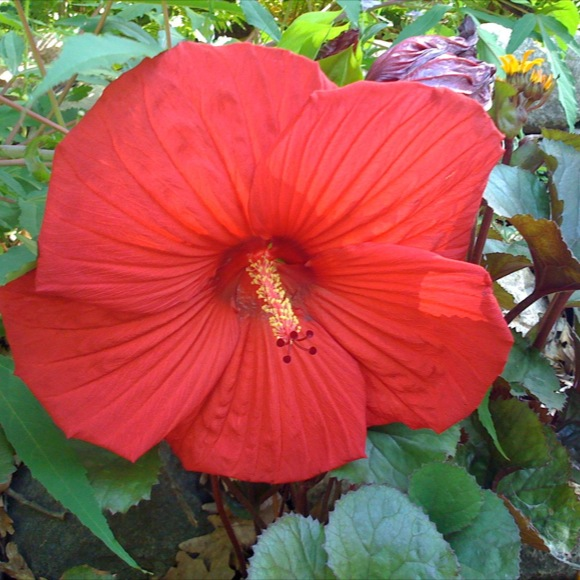Hibiscus Luna Red Friends School Plant Sale