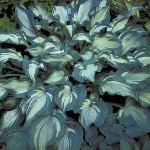 Hosta Guardian Angel Friends School Plant Sale
