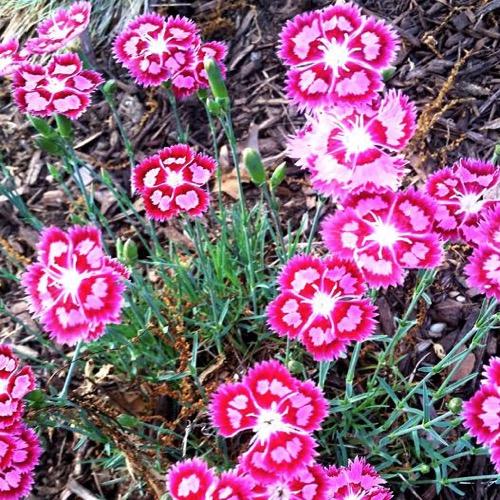 Pinks Hardy Spotty Friends School Plant Sale