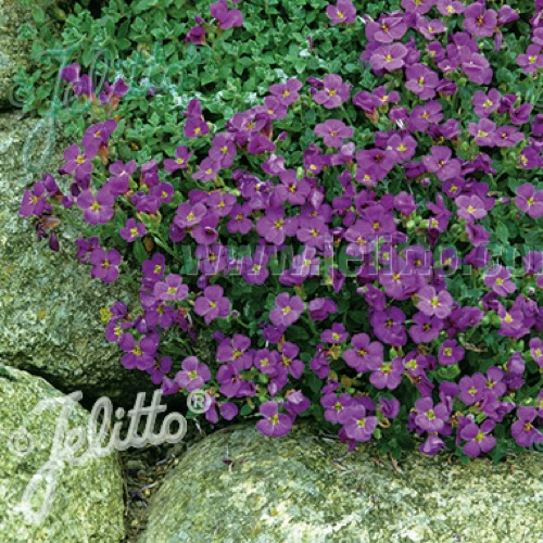 Rock cress cascade blue friends school plant sale photo from jelitto perennial seeds mightylinksfo