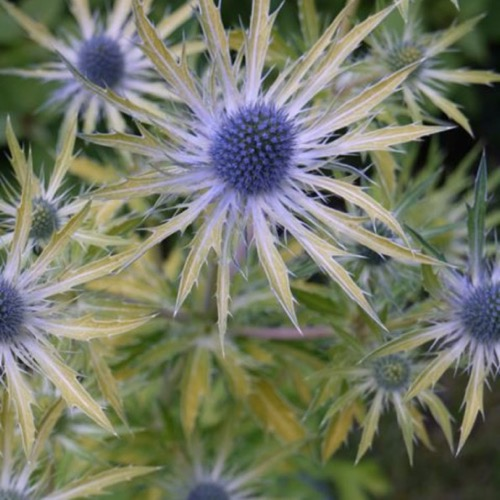 Sea holly neptunes gold friends school plant sale photo from vitrowestland mightylinksfo