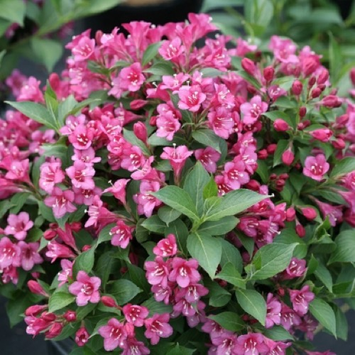 Cardinal bush snippet dark pink friends school plant sale medium pink flowers all over the shrub photo from spring meadow nursery mightylinksfo