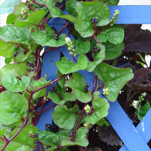 Malabar Spinach Red Friends School Plant Sale