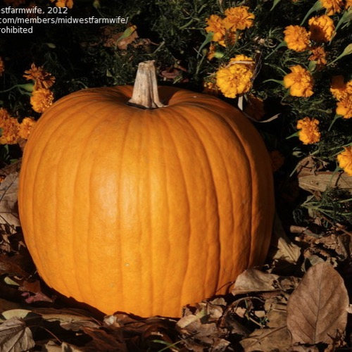 Pumpkin Connecticut Field Friends School Plant Sale