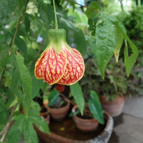 Flowering Maple Biltmore Ballgown Friends School Plant Sale