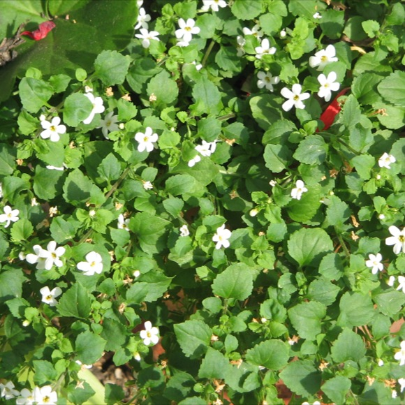 Bacopa white friends school plant sale photo from the wikimedia commons mightylinksfo