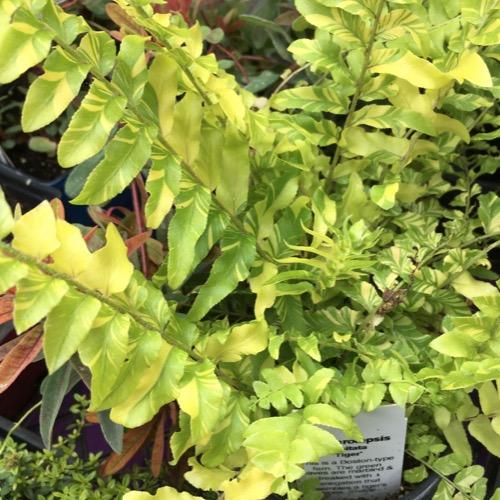 Ferns, Tropical - Assorted
