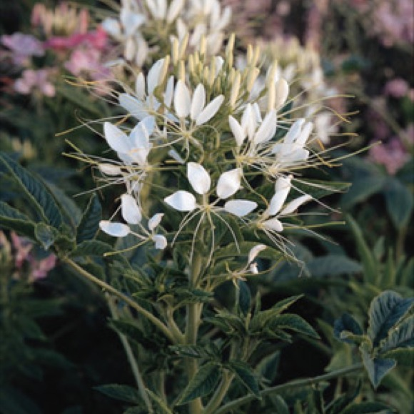Spiderflower white queen friends school plant sale white spider flower photo from glacial ridge growers mightylinksfo