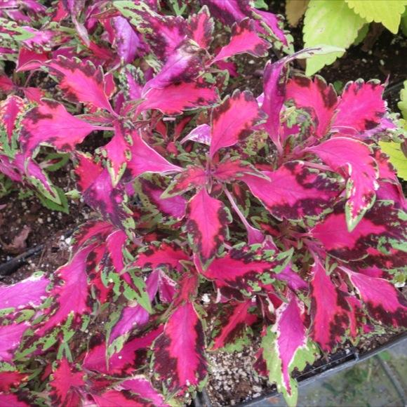 Pink Coleus