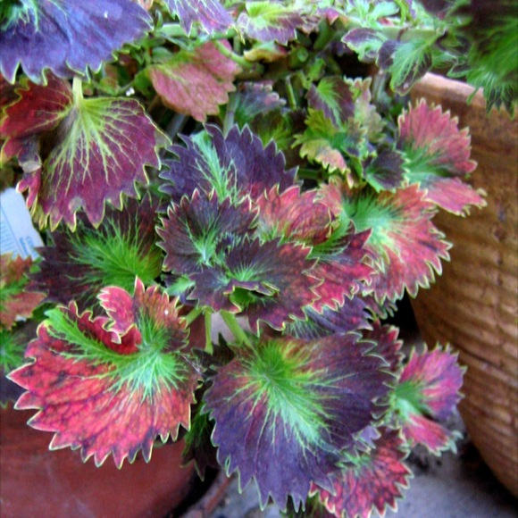 coleus, shade  tiltawhirl  friends school plant sale, Beautiful flower
