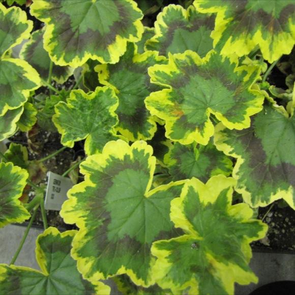 Geranium - Tri-Color | Friends School Plant Sale