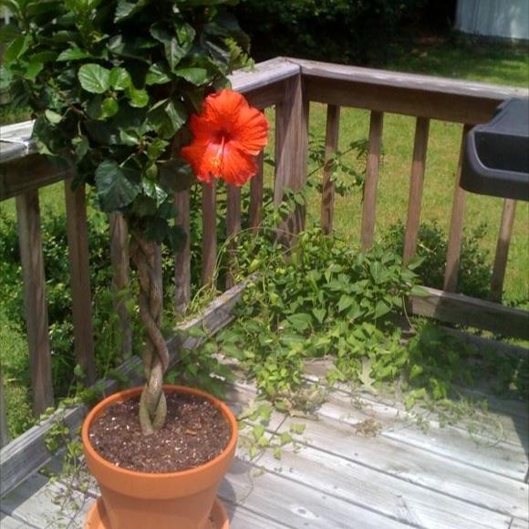 Hibiscus Sunny City Assorted Friends School Plant Sale