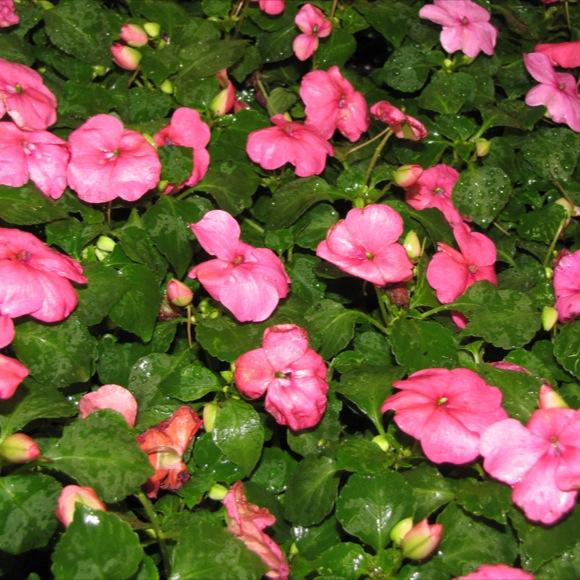 Impatiens super elfin lipstick friends school plant sale nice pink flowers friends school plant sale photo by jenn m mightylinksfo