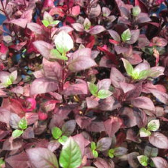 Joseph's Coat - Little Ruby | Friends School Plant Sale