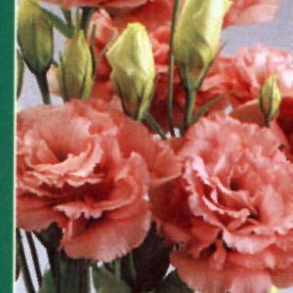 Lisianthus Abc 2 Rose Friends School Plant Sale
