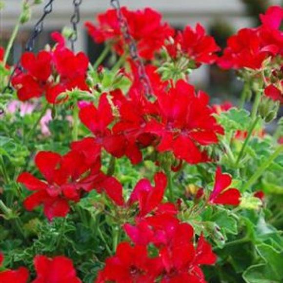 Geranium Ivy Caliente Red Friends School Plant Sale