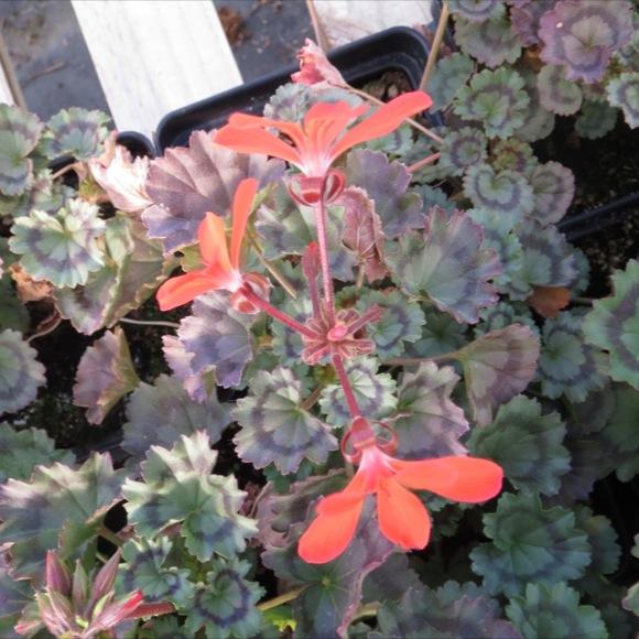 Geranium - Fire Dancer | Friends School Plant Sale