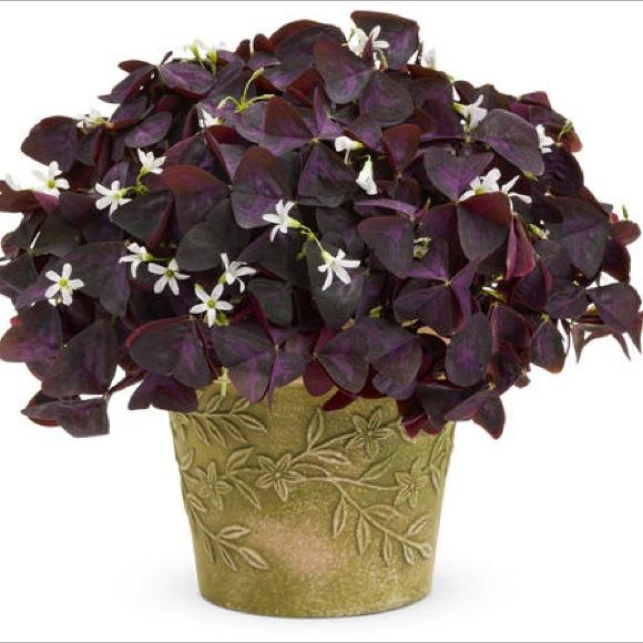 Shamrock charmed wine friends school plant sale oxalis charmed wine dark purple leaves white flowers mightylinksfo