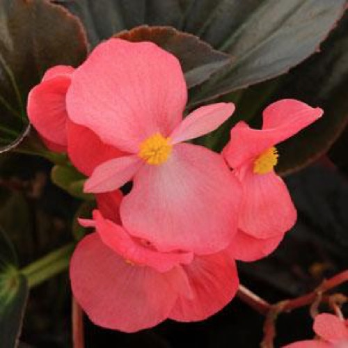 Begonia whopper mistral pink subbed for rose bronze friends photo from ball horticulture mightylinksfo