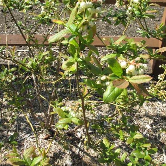 Blueberry patriot friends school plant sale Missouri botanical garden plant finder