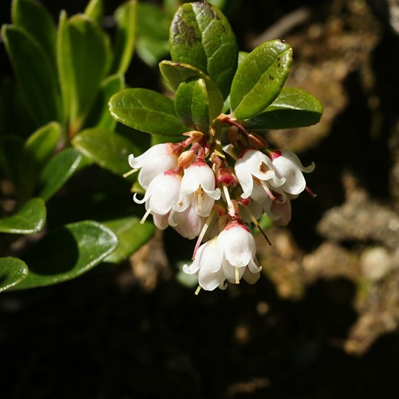 Lingonberry Red Sunset Friends School Plant Sale