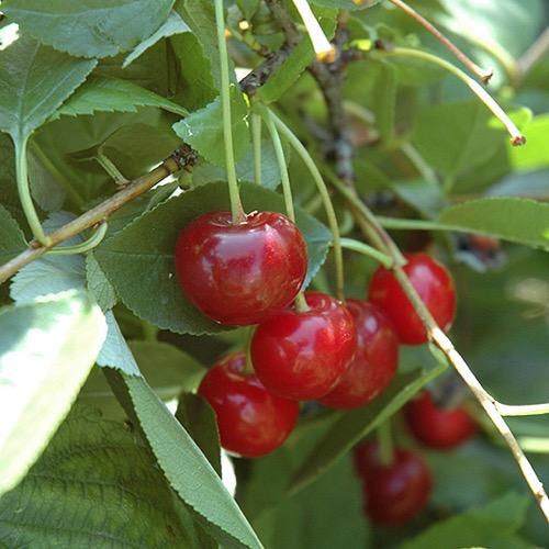 cherry bush crimson passion friends school plant sale