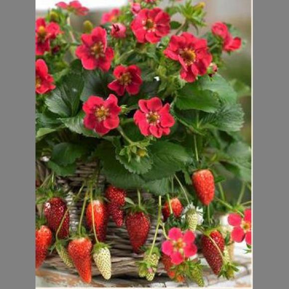 Strawberry tristan friends school plant sale photo from walters garden mightylinksfo