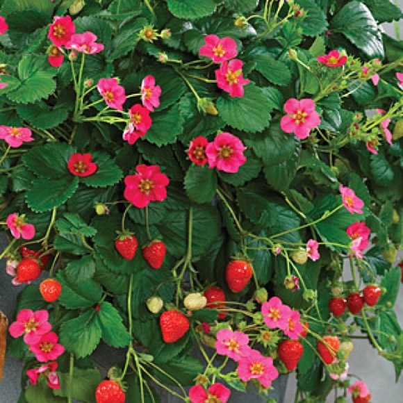 Strawberry toscana friends school plant sale dark pink flowers and red strawberries photo from burpee mightylinksfo