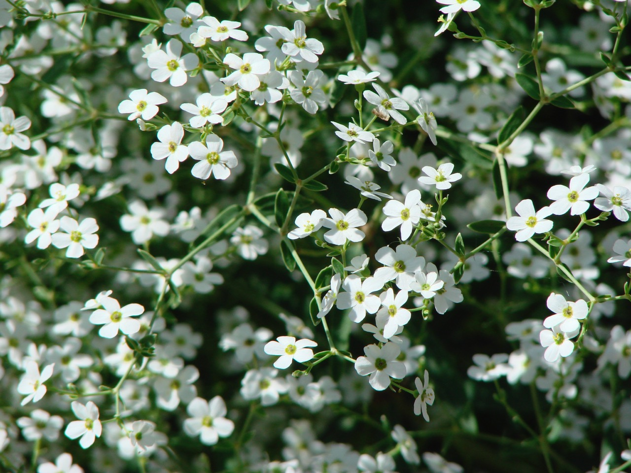 Prairie babys breath wild prairie babys breath friends school euphorbia corollata small white flowers friends school plant sale photo by nancy s mightylinksfo