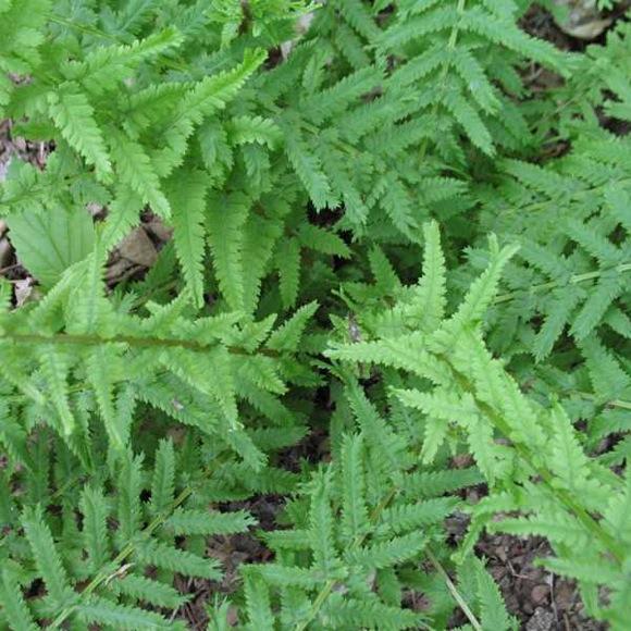 Fern lady victoriae friends school plant sale Missouri botanical garden plant finder