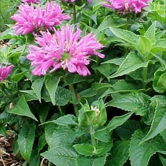 Attrayant Photo From Missouri Botanical Garden Plant Finder