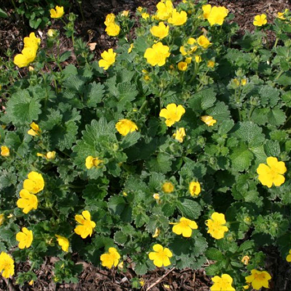 Cinquefoil woolly friends school plant sale potentilla megalantha green groundcover and yellow flowers mightylinksfo